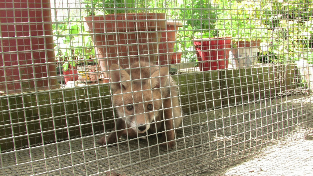 Fox cub in live trap