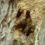 Hornets at nest